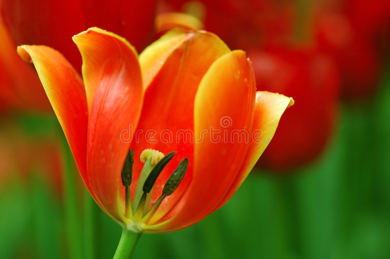 Tulipán descubierto fotos de archivo libres de regalías