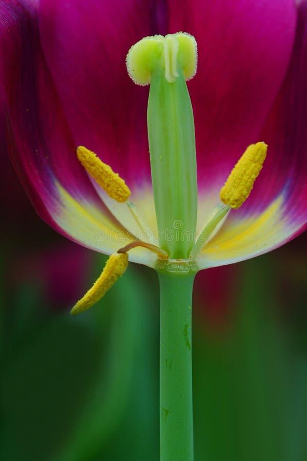 Tulipán descubierto fotografía de archivo libre de regalías