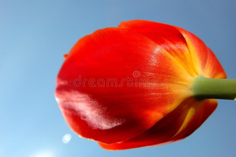 Tulipán en el cielo foto de archivo libre de regalías