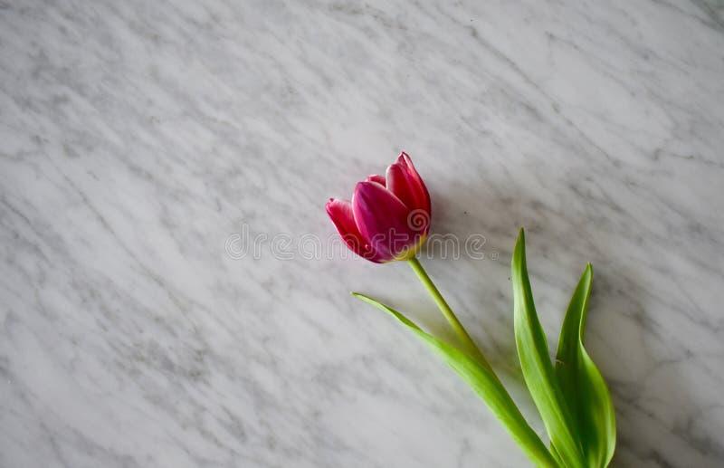 Tulipán en el mármol blanco fotos de archivo