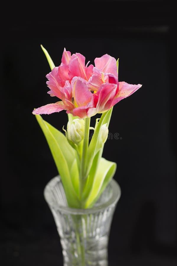 Tulipán en fondo negro imagen de archivo libre de regalías