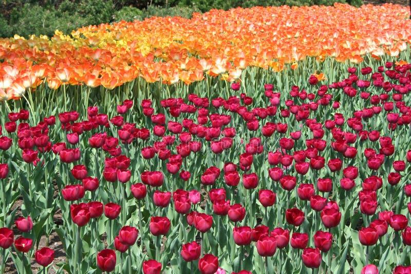 Tulipán en Gatineau Canadá, Norteamérica fotografía de archivo