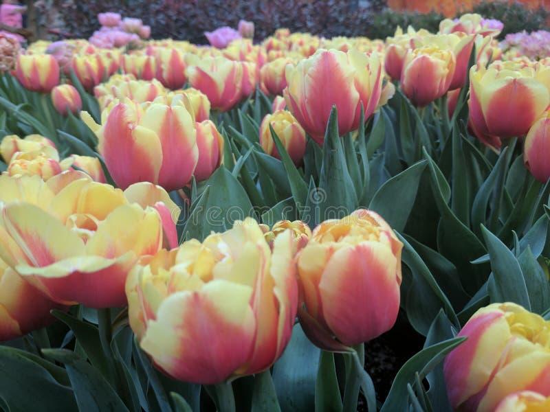Tulipán en jardín fotos de archivo