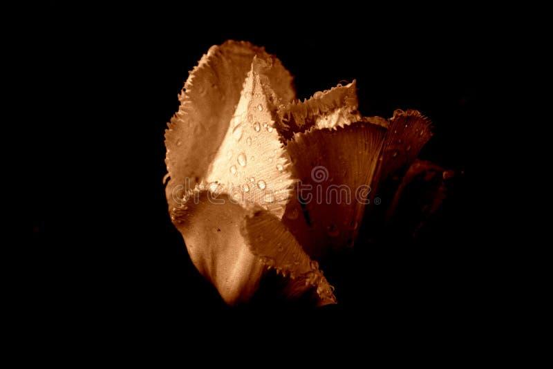 Tulipán en la lluvia [3] fotografía de archivo
