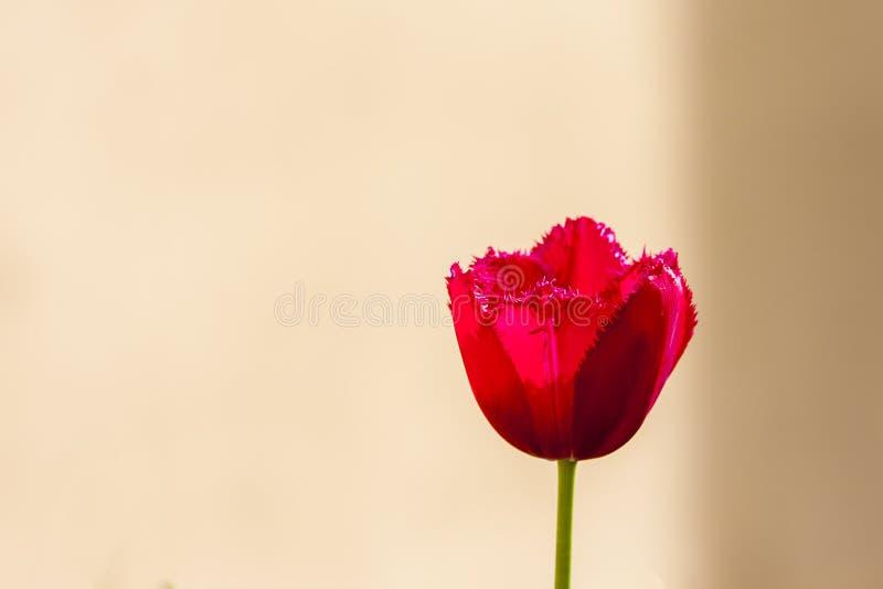 Tulipán floreciente rojo fotos de archivo