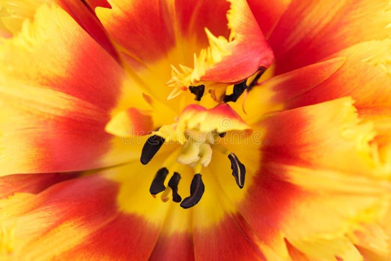 Tulipán fresco brillante foto de archivo