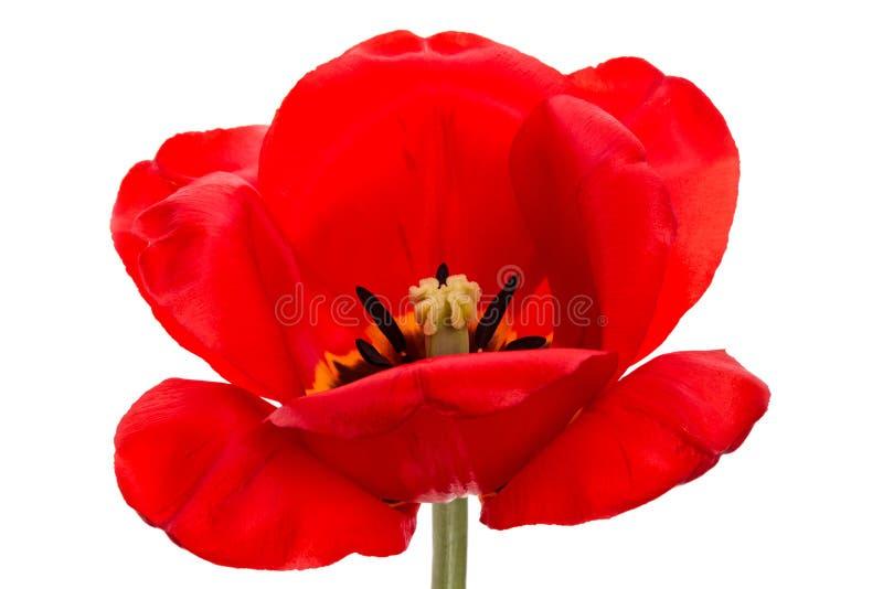 Download Tulipán grande imagen de archivo. Imagen de ambiente - 41908201
