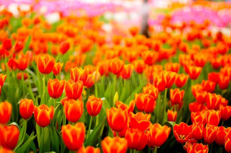 Tulipán hermoso fotos de archivo libres de regalías