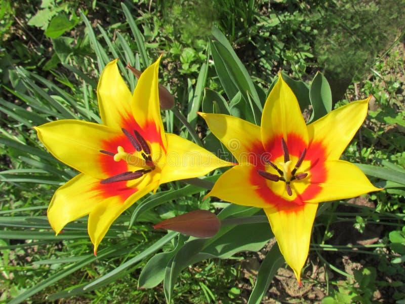 tulipán Lleno-florecido, flor rico en rojo y amarillo fotos de archivo libres de regalías