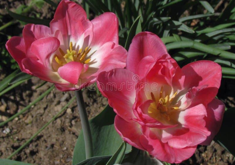 tulipán Lleno-florecido, flor rico en rosa y blanco imagenes de archivo