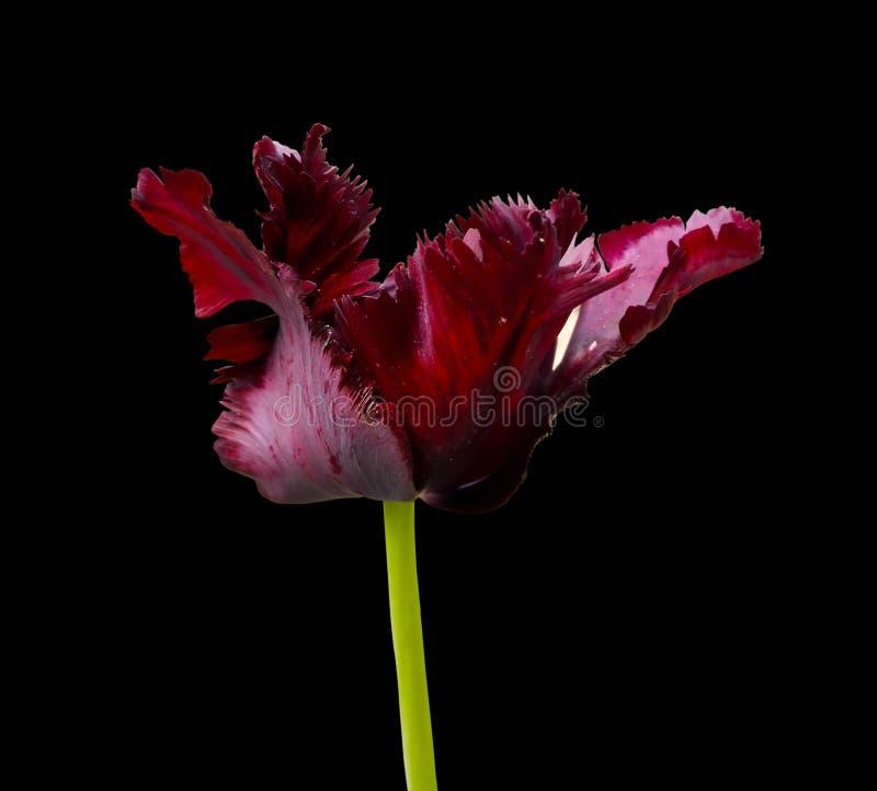 Tulipán marrón de la flor fotografía de archivo