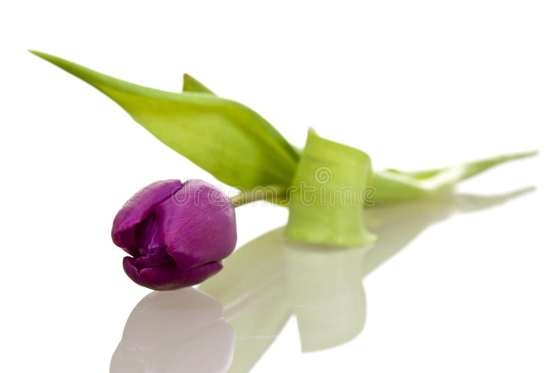 Tulipán púrpura fotografía de archivo libre de regalías