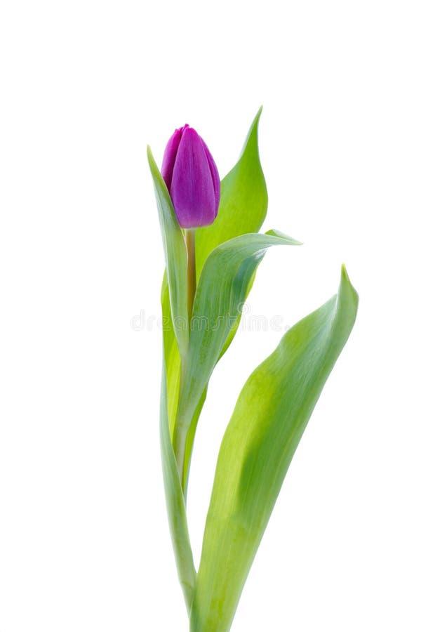 Tulipán púrpura imágenes de archivo libres de regalías
