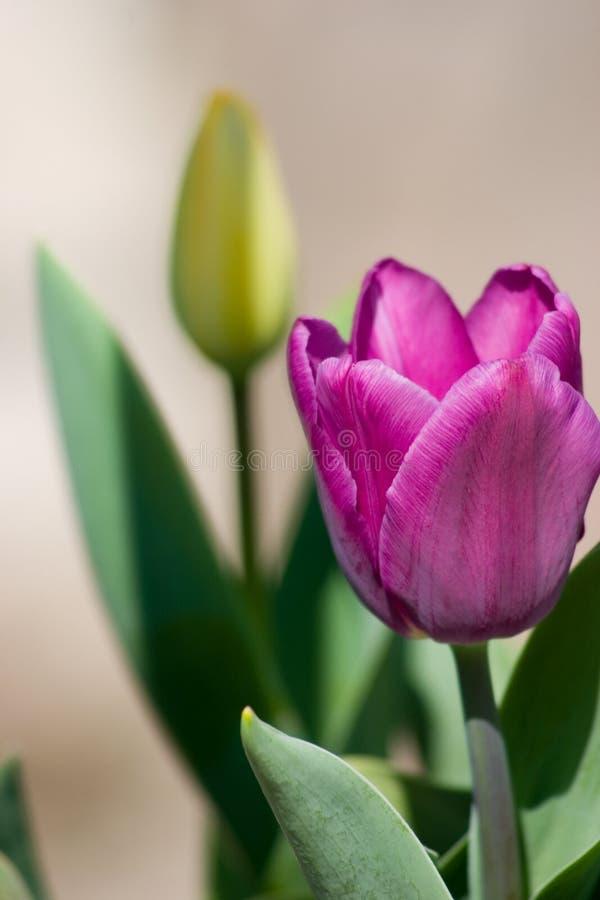 Tulipán púrpura foto de archivo libre de regalías