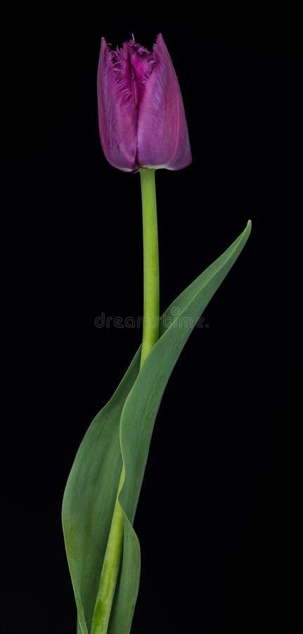 Tulipán púrpura brillante imágenes de archivo libres de regalías