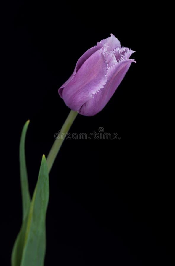 Tulipán púrpura brillante fotografía de archivo