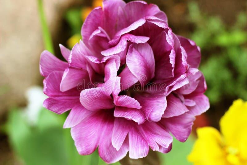 Tulipán púrpura de la peonía en un fondo verde Tulipán con las rayas en las hojas imagen de archivo libre de regalías