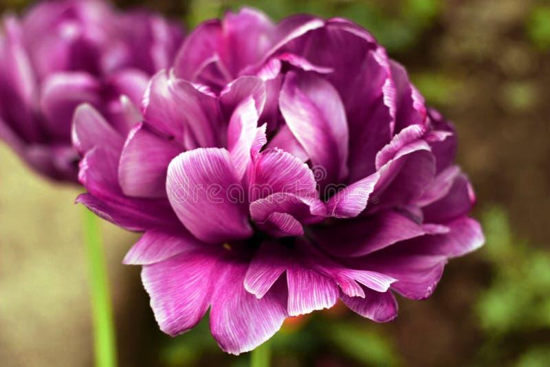 Tulipán púrpura de la peonía en un fondo verde Tulipán con las rayas en las hojas imagenes de archivo