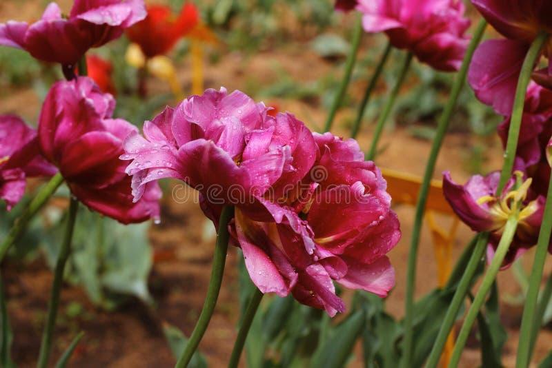 Tulipán púrpura de la peonía en un fondo verde Tulipán con las rayas en las hojas fotografía de archivo libre de regalías