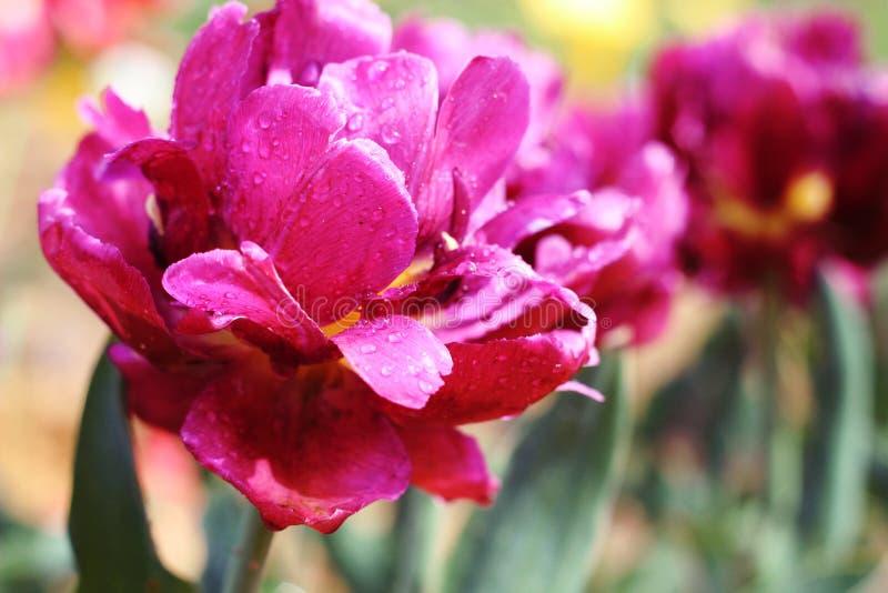 Tulipán púrpura de la peonía en un fondo verde Tulipán con las rayas en las hojas Tulipán de la flor después de la lluvia en el j imagenes de archivo