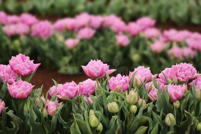 Tulipán púrpura en una exposición fotografía de archivo libre de regalías