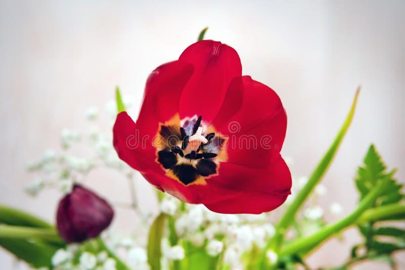 Tulipán Ramo hermoso de tulipanes Tulipanes coloridos tulipanes en la primavera, tulipán colorido imagen de archivo