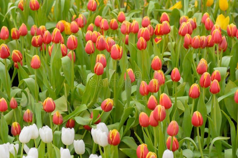 Tulipán Ramo hermoso de tulipanes tulipanes en la primavera, tulipán colorido fotografía de archivo