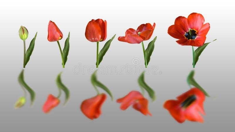 Tulipán reflejado imágenes de archivo libres de regalías