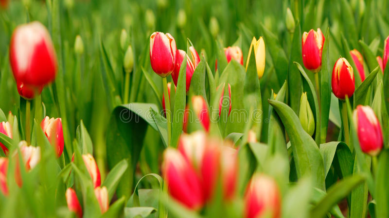 Tulipán rojo foto de archivo libre de regalías