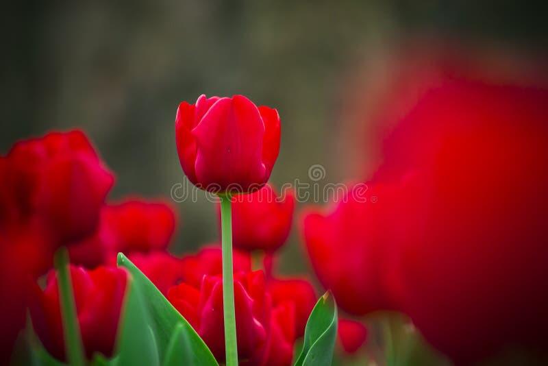Tulipán rojo imagen de archivo libre de regalías