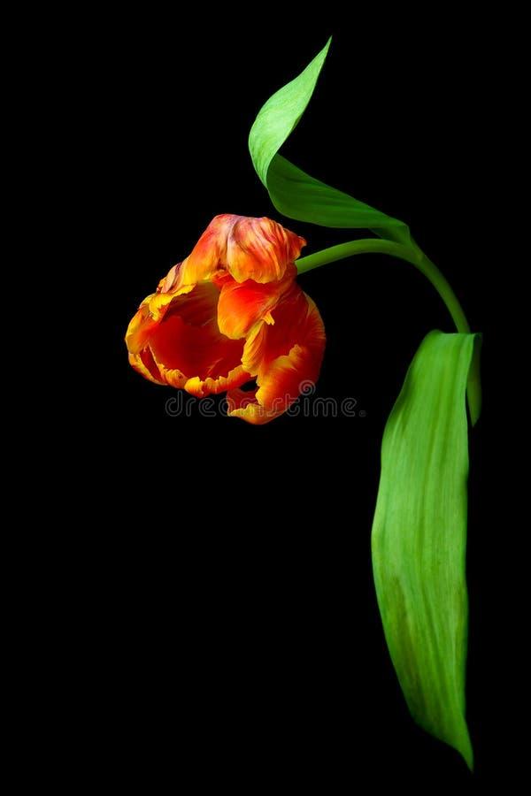 Tulipán rojo aislado en un fondo negro fotos de archivo