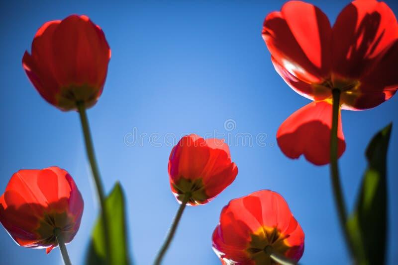 Tulipán rojo en el cielo azul fotografía de archivo libre de regalías