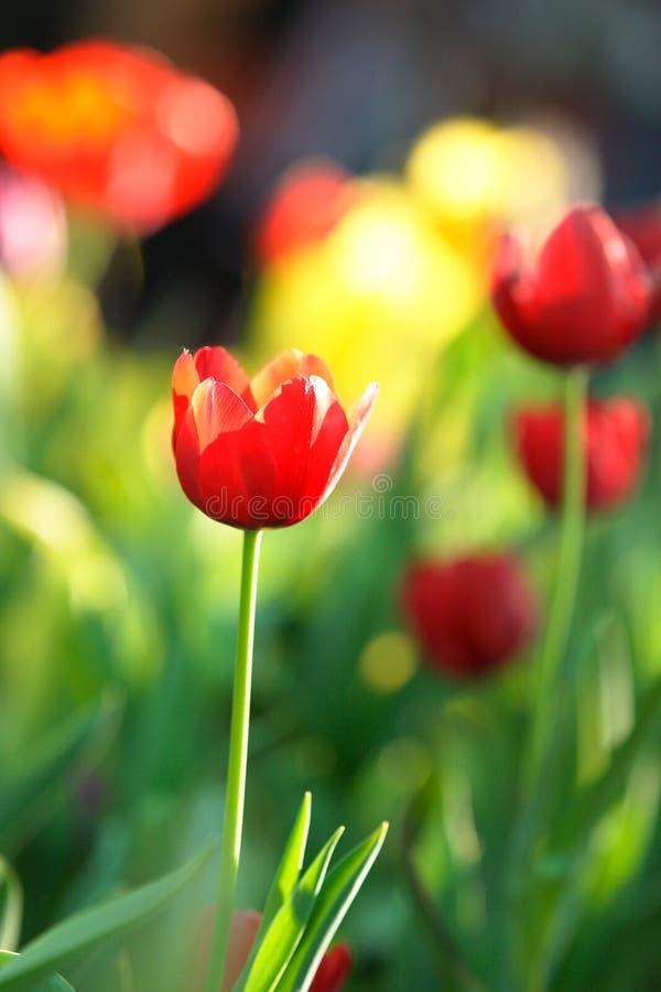 Tulipán rojo en Tailandia fotos de archivo