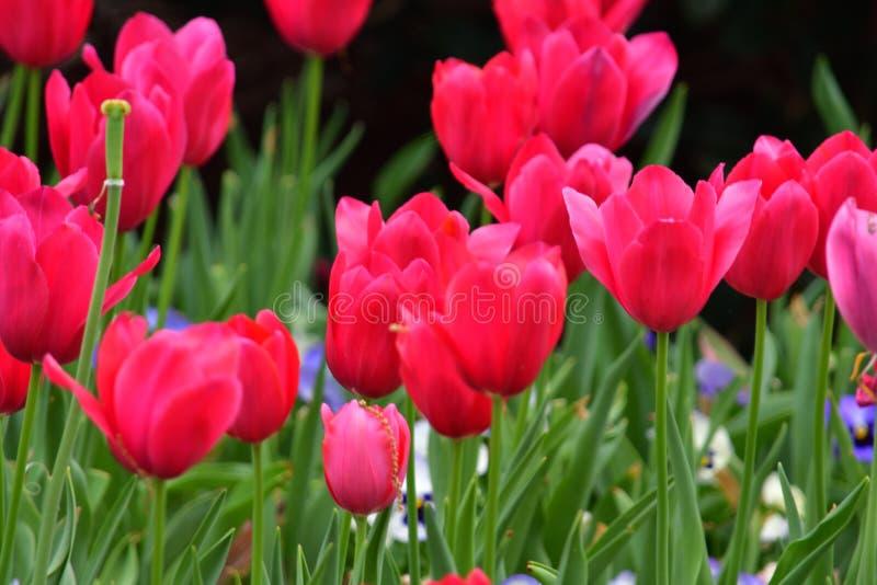 Tulipán rojo pleno floración fotos de archivo