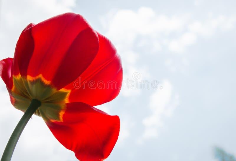 Tulipán rojo que crece al aire libre debajo de un cielo azul soleado en una cama de flor en un jardín estacional colorido fotografía de archivo libre de regalías