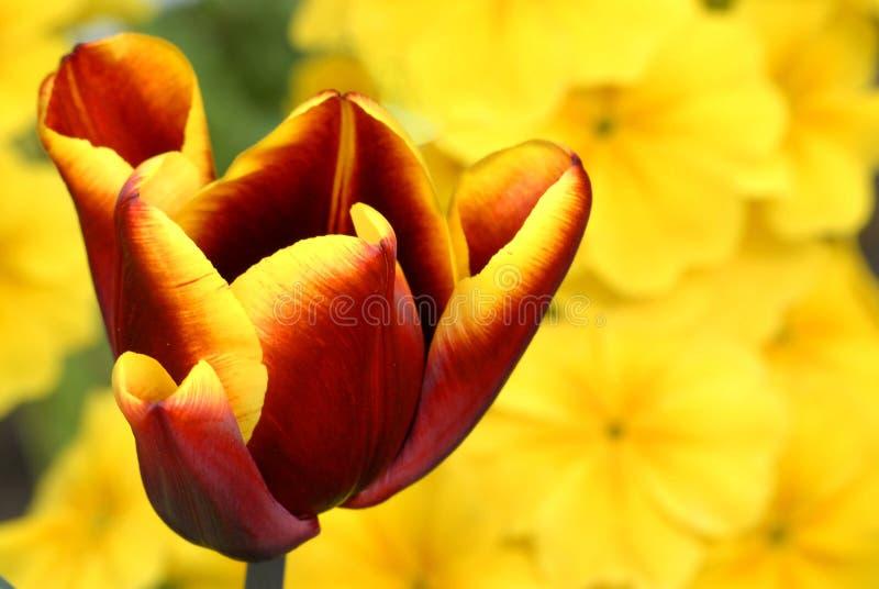 Tulipán rojo y amarillo imagen de archivo