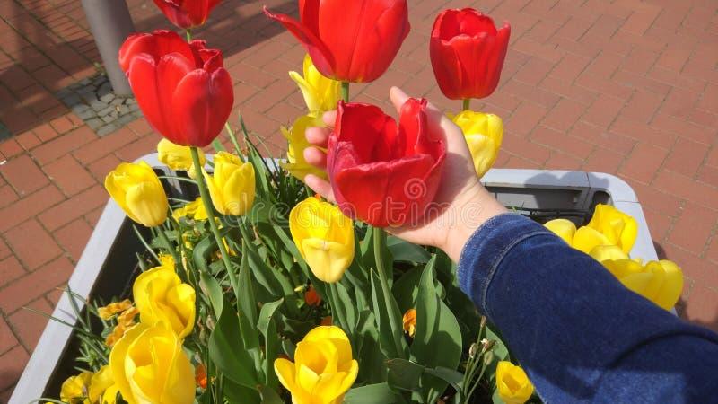 Tulipán rojo y amarillo de su color, planta fotos de archivo libres de regalías