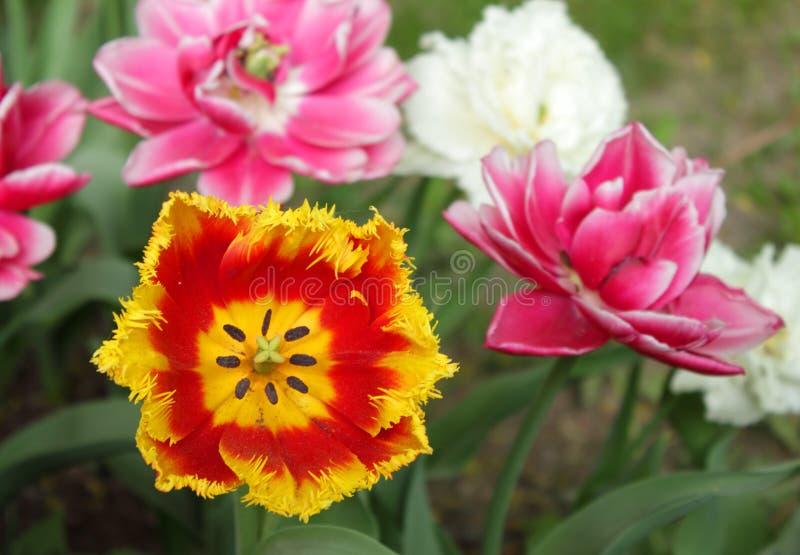 Tulip?n rojo y amarillo de Terry imagenes de archivo