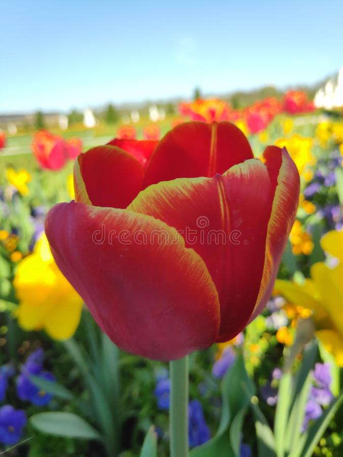 Tulipán rojo y amarillo florece en un lecho florido imagen de archivo libre de regalías