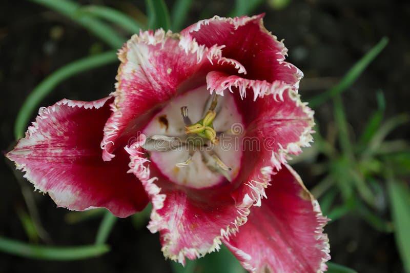 Tulipán rojo y blanco en macro fotografía de archivo