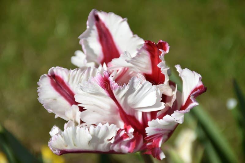 Tulipán rojo y blanco rayado floreciente hermoso del loro foto de archivo libre de regalías