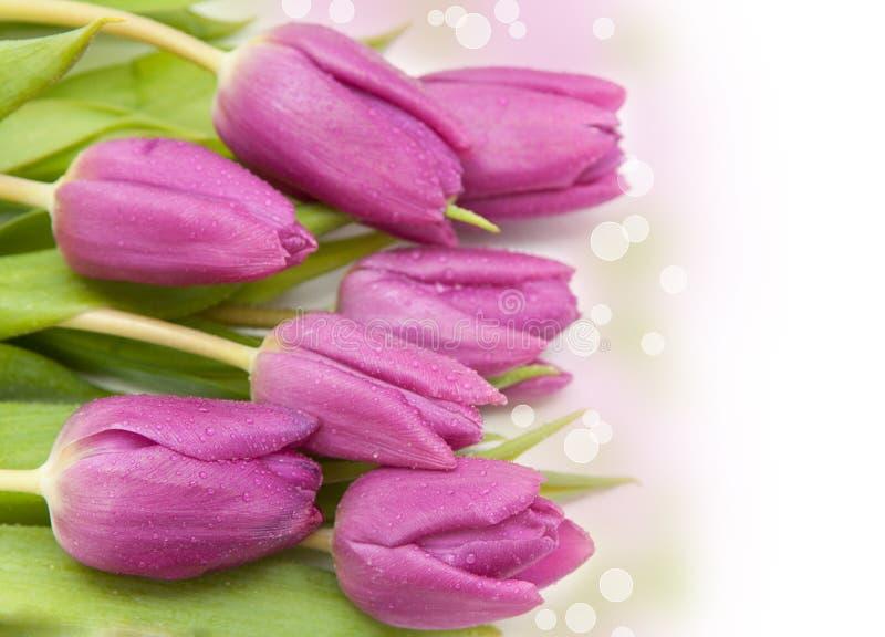 Tulipán rosado imagen de archivo