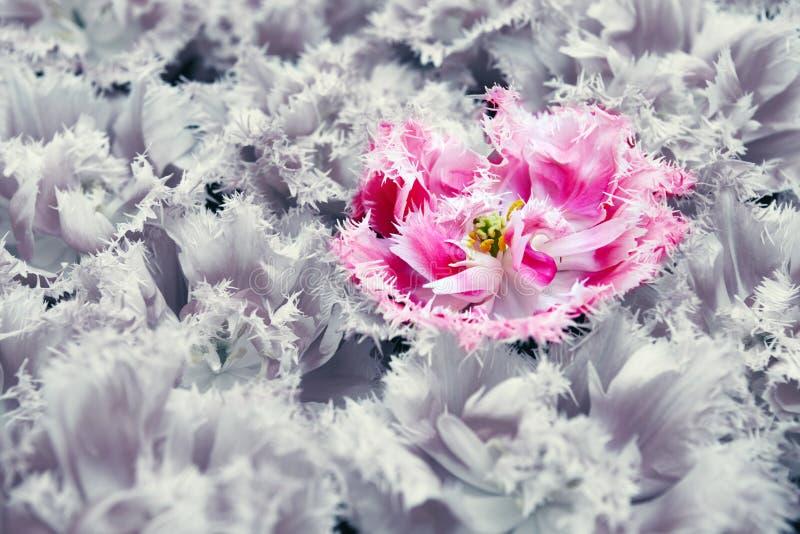 Tulipán rosado aislado en fondo gris de las flores foto de archivo libre de regalías