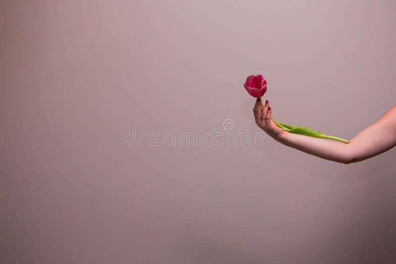 Tulipán rosado en la mano de la mujer foto de archivo libre de regalías