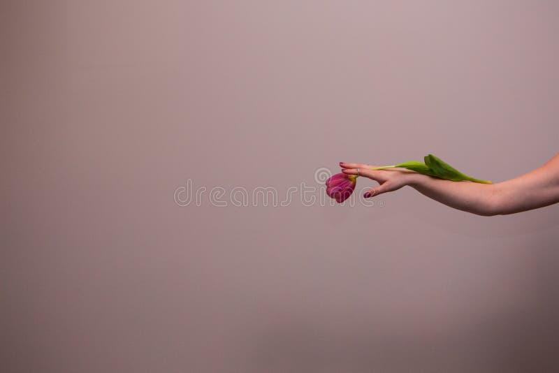 Tulipán rosado en la mano de la mujer imagen de archivo libre de regalías