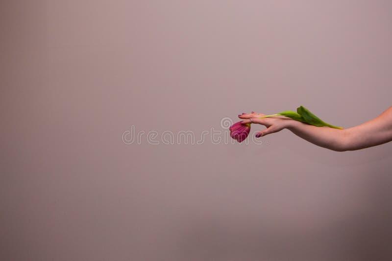 Tulipán rosado en la mano de la mujer fotografía de archivo libre de regalías
