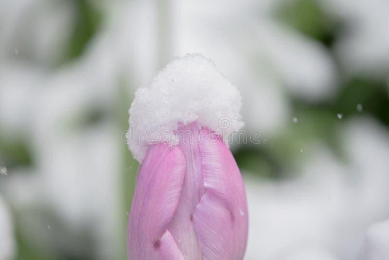 Tulipán rosado en primavera con nieve imagenes de archivo