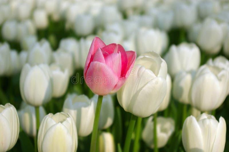 Tulipán rosado en un mar de los tulipanes blancos fotos de archivo