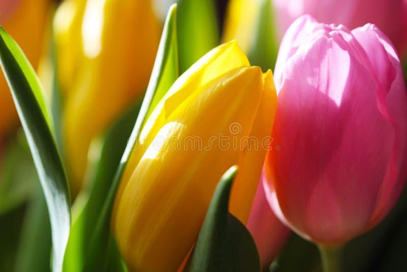 Tulipán rosado y amarillo del ramo foto de archivo libre de regalías