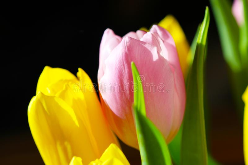 Tulipán rosado y amarillo del ramo hermoso imagenes de archivo